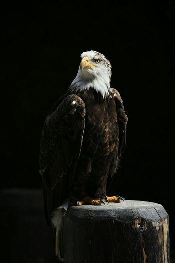Eagle Against Black Background