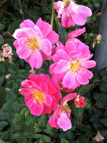 Rosa Blüten Flowering Plant Flower Plant Petal Vulnerability  Fragility Freshness Beauty In Nature Growth Pink Color Flower Head Plant Part Nature Pollen