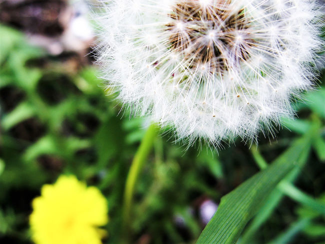 Beauty In Nature Close-up Dandelion Dandelion Seed Dandelions Day EyeEm Nature Lover Flower Flower Head Fragility Freshness Green Color Growth Nature No People Outdoors Plant Relaxed Moments White Color Yellow Flower