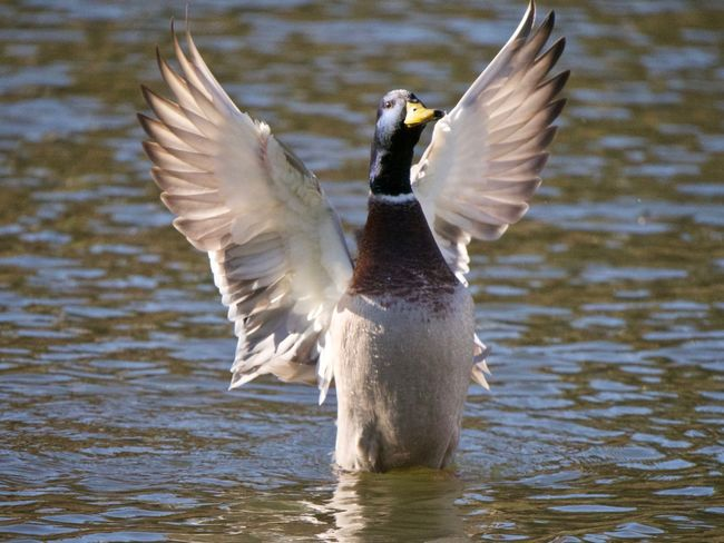 Animal Themes Animal Animals In The Wild Animal Wildlife Vertebrate Bird Spread Wings One Animal Flying Water Lake Day Waterfront No People Motion Flapping Nature Focus On Foreground Animal Wing Outdoors