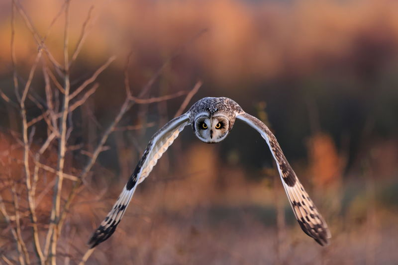 A short-eared owl in flight