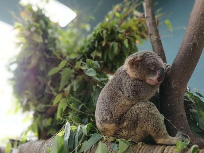 Koala sleeping at zoo