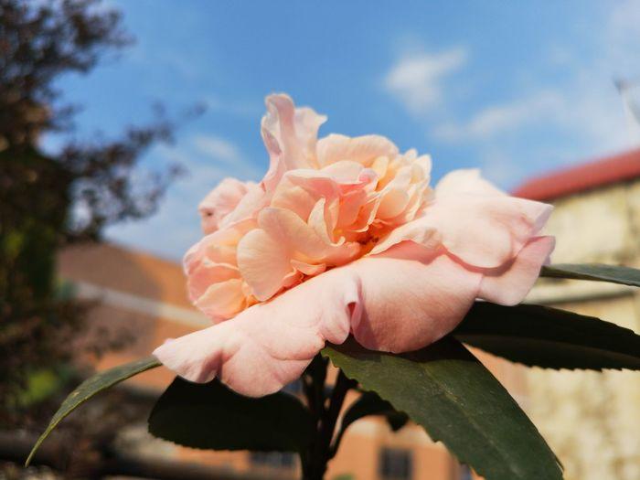 flower EyeEm Selects Flower Water Pink Color Close-up Sky Blooming Flower Head Petal In Bloom Pink Cosmos Flower Single Rose Plant Life Fragility Single Flower Peony  Pale Pink