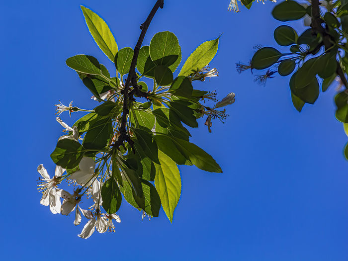 Low angle view of leaves against clear blue sky