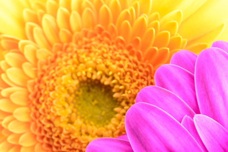 Close-up of pink and yellow gerbera daisy flower