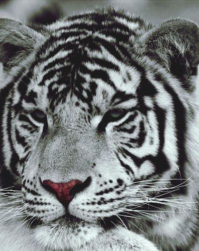 Black & White BeNGaL TiGeR My ScreenSaver