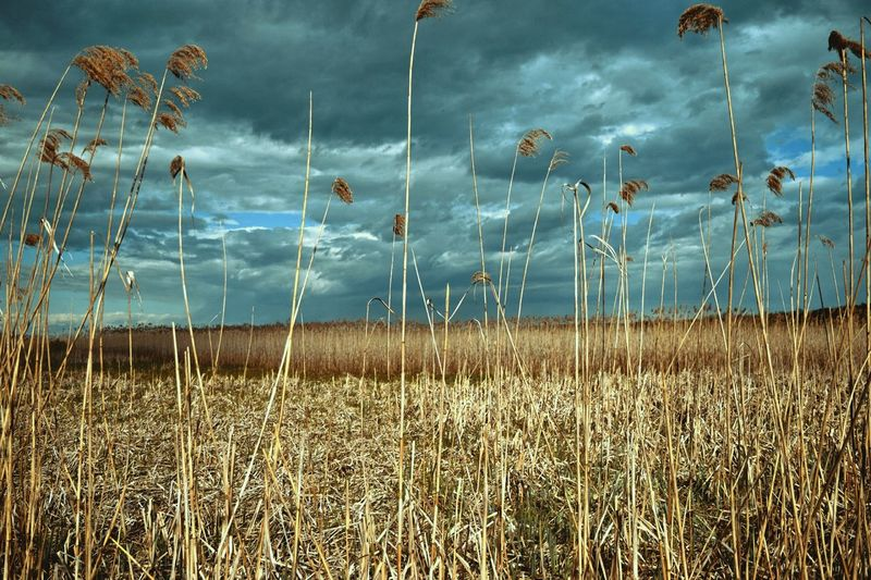 Field of wheat during storm Growth Cereal Plant Tranquil Scene Day Outdoors Sky Tranquility Beauty In Nature Scenics No People Rural Scene Cloud - Sky Plant Wheat Freshness Grass Nature First Eyeem Photo