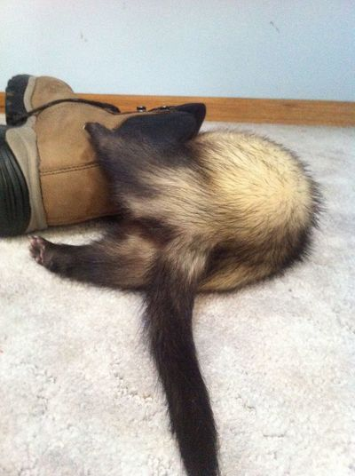 Sable ferret playing in a shoe Animal Body Part Animal Head  Black Color Cat Close-up Day Domestic Animals Ferret Ferret Playing In A Shoe Ferrets  Mammal No People Part Of Pets Polecat Relaxation Resting Weasel Whisker
