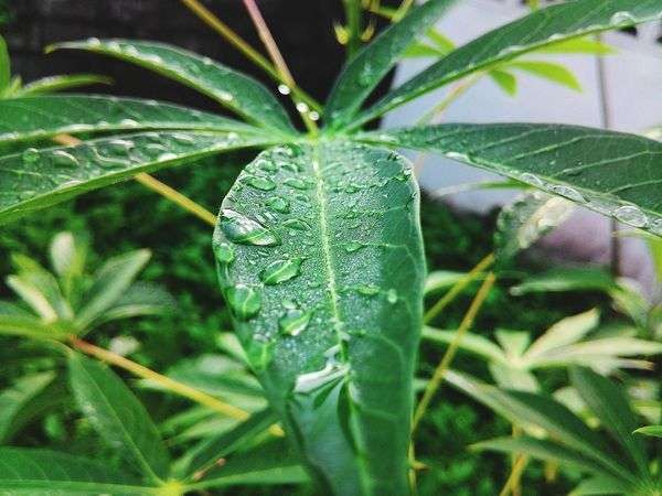 Green Color Leaf Nature Growth Spider Web No People Close-up Plant Day Outdoors Beauty In Nature Freshness Fragility Dew On Leaves Mroning Mobile Photography Let's Go. Together. Beauty In Nature Nature Dew Dew Drops Outdoor Photography Zenfone Photography IPhone Photography Tree