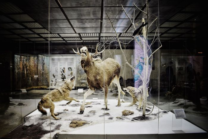 Evolution museum or animal death house? 💀 Mammal Animal Themes No People Full Length Standing Indoors  Exhibition Exhibit  Elk WOlves Stuffed Animal Stuffed Animals Museum