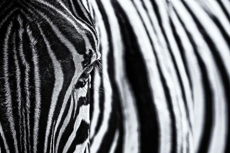 Close-Up Of Zebra