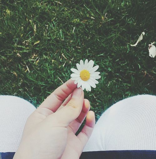 CLOSE-UP OF CROPPED HAND HOLDING DAISY FLOWERS IN FIELD