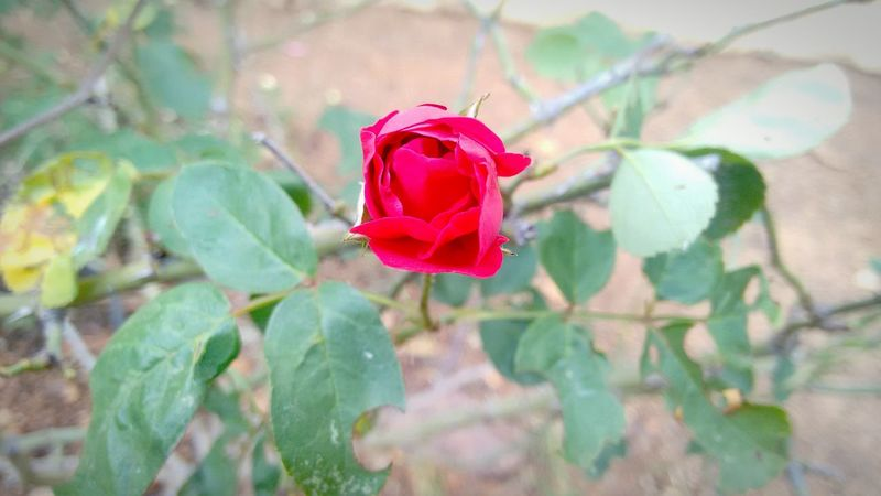 Rose🌹 Beautifulflower  Niceweathertoday Click Click 📷📷📷 Feelinggreat EyeEm Best Shots EyeemTeam Professionalphotography Awesome_nature_shots Taking Photos Check This Out