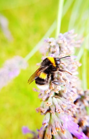 visitors to our lavender Bees And Flowers Bees Flower Bee Pollination Insect Purple Close-up Bumblebee Honey Bee