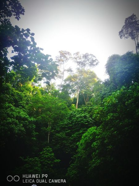 how could the nature can be so beautiful ADIB2803 Huwawie P9 Landscape Leica Huawei P9 Tree Sky Green Color Plant Life Treetop Tree Canopy  Long Shadow - Shadow Rainforest Tropical Rainforest Single Tree Leaves Leaf Vein Growing Branch RainDrop Dense