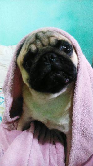 Amomeupug Pugmania Pugs Nick 😍♥♥♥ Lovemydog