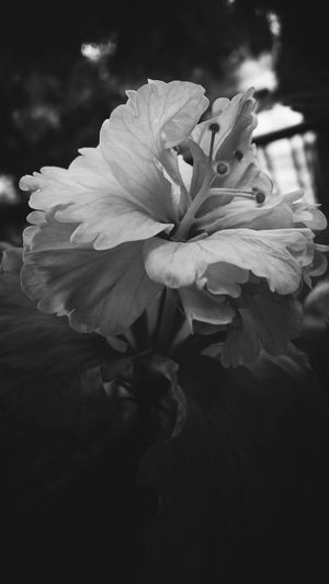Beauty In Nature Flower Petal Nature Outdoors Photographylovers EyeEm Best Shots Beauty In Nature EyeEm Nature Lover EyeEmBestPics Flowers_collection EyeEmGalley Flowers,Plants & Garden Black & White Photography Bnwmood Bnw_lover Bnw_captures Hibiscus Hibiscus Close-up Flowerphotography