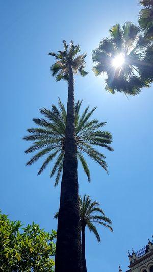 Plame Sun Tree