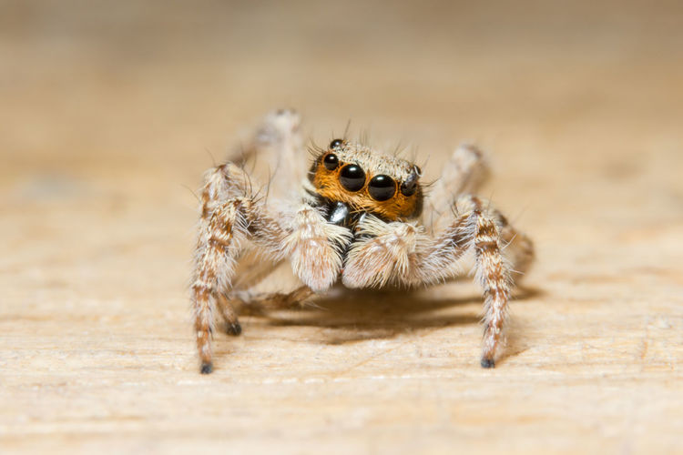 Extreme close-up of jumping spider