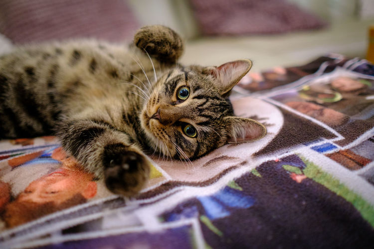 Portrait of tabby resting on bed at home