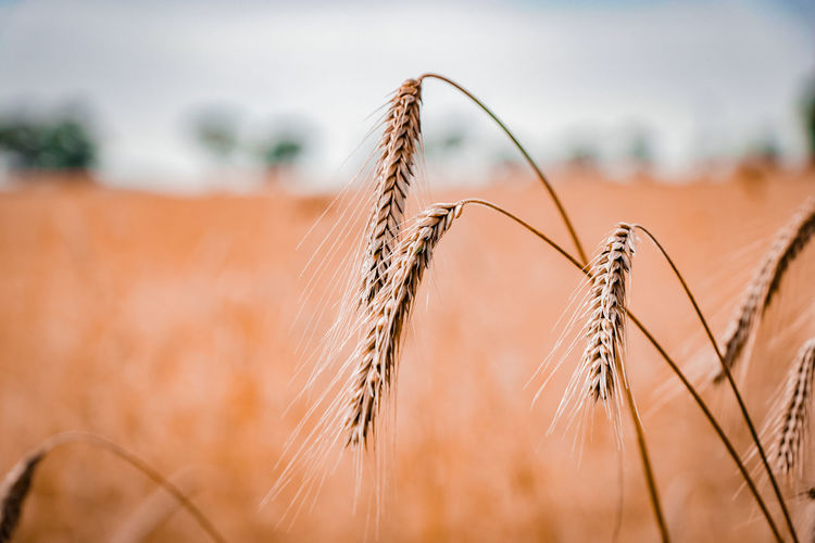 Close-up of wheat plants against sky