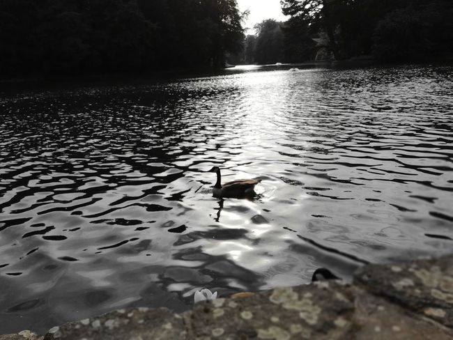Huwaei Photography Park Paisible adventures in the city Bois De La Cambre Water Swimming Lake Bird Reflection Animal Themes Duck Water Bird Swimming Animal Wild Animal Floating On Water Calm