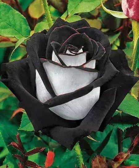 il fiore del male dal quale sorge la bellezza Black & White Rose♥ Beautiful Nature EyeEm Nature Lover Flower Of Evil Love Black Rose Ten Black Roses <3 Beautiful Flower