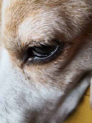 Pets Portrait Dog Looking At Camera Eye Close-up