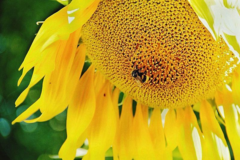Sunflower Flower Beauty In Nature шмели подсолнух лето