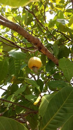 Tree Fruit Nature Day Food Tropical