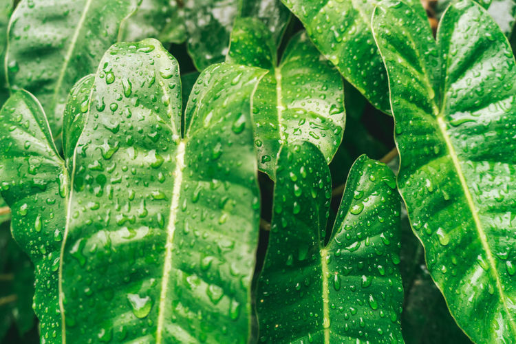 Leaf Green Color Plant Part Close-up Food And Drink No People Nature Freshness Full Frame Water Backgrounds Refreshment Mint Leaf - Culinary Food Mojito Drop Growth Wet Plant Herb Leaves