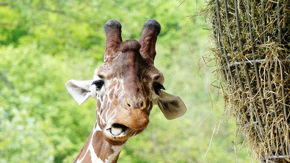 Guten Abend na..den schönen Tag gut verbracht 😉 Giraffe Baby Animals Animal Body Part Looking At Camera Outdoors Focus On Foreground Close-up Grass Beauty In Nature Taking Photos EyeEmBestPics Funny Moments Funny Faces Tadaa Community EyeEm Diversity Mammal EyeEm Best Shots EyeEm Gallery EyeEmNewHere Zoo Animals  Zoobesuch Check This Out Enjoing Life Getting Inspired