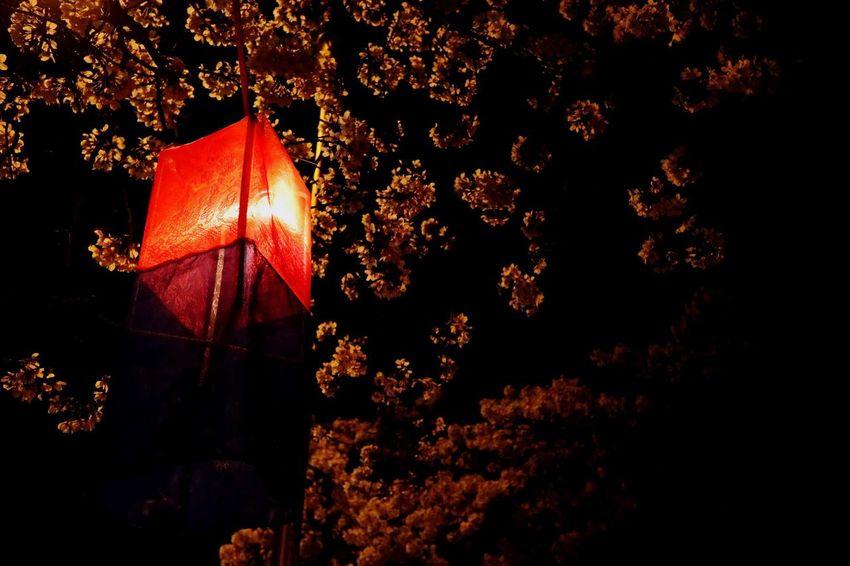 Cheongsachorong Red Blue Lights Cherry Blossoms Night Korea