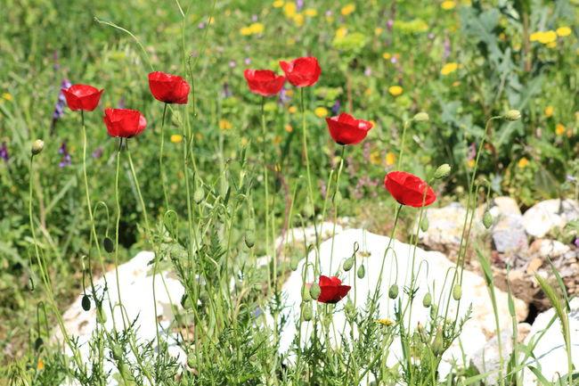 маки мак цветок  полевые цветы полевыецветы турция Flowers Field Of Flowers Field Poppy Field Flowers