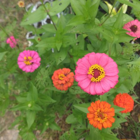 Flower Pink Color Nature Outdoors Close-up Growth Plant Beauty In Nature Day Flower Head No People Petal Green Color Fragility Blooming Freshness Zinnia  Leaf ดอกไม้ใบหญ้า ดอกไม้สีชมพู ดอกบานชื่น First Eyeem Photo