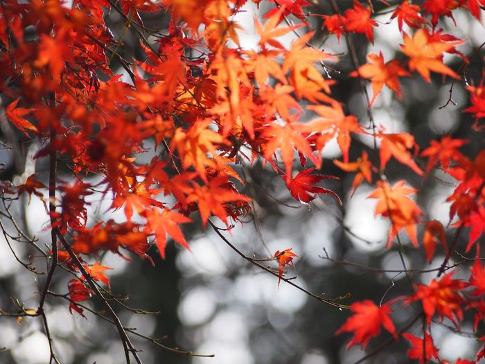 Close-Up Of Autumnal Leaves On Tree During Autumn
