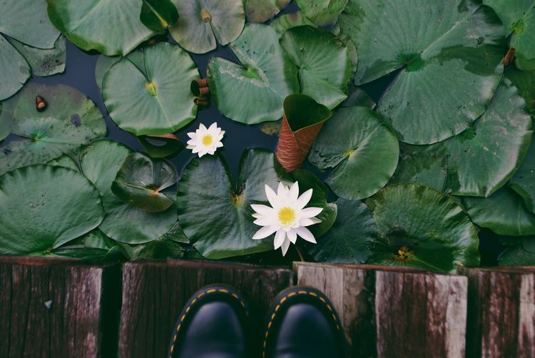 Low section of person standing on jetty by white water lily in pond
