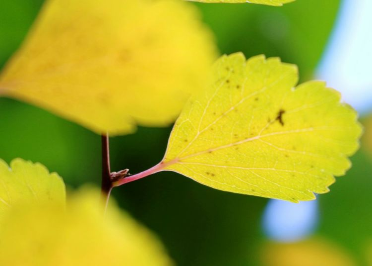 Leaf Yellow Close-up Nature Green Color Autumn Beauty In Nature Outdoors Day No People Maple Leaf Beauty In Nature Plant Yellow Leaf Softness Insect Premium Collection
