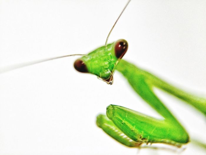 Close-Up Of Praying Mantis Against White Background