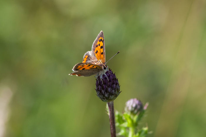 Kleiner Feuerfalter Animal Animal Themes Animal Wildlife Animals Animals In The Wild Beauty In Nature Butterfly Butterfly - Insect Common Copper Common Copper On Flower Insect Insect Photography Insects  Lepidoptera Lycaena Phlaeas Lycaenidae Small Copper Wild Wildlife Wildlife & Nature Wildlife Photography