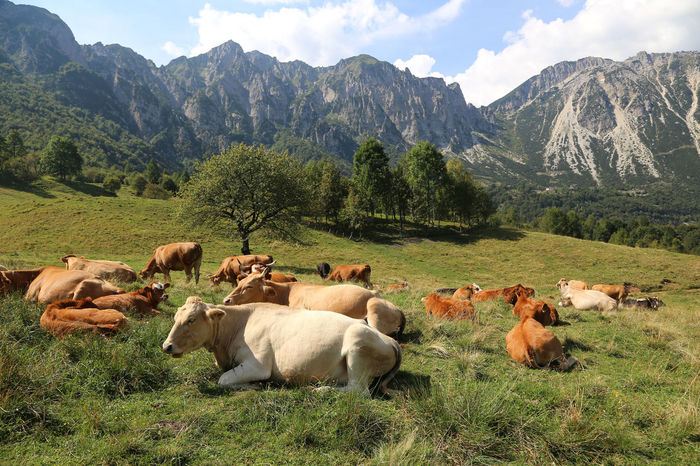 many cows grazing near the Italian Alps in summer Carega Piccole Dolomiti Ruminants Scenes Cattle Cow Cows Grass Grazing Husbandry Landscape Livestock Mammal Mountain Mountain Range Nature No People Pasubio Prealps Recoaro Ruminant Scenics Valdagno Veneto Vicenza