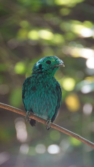 Bird Perching Animal Themes Animal One Animal Animal Wildlife Vertebrate Animals In The Wild Focus On Foreground Day No People Close-up Nature Full Length Green Color Plant Tree Outdoors Kingfisher Beauty In Nature Beak Stick - Plant Part Turquoise Colored