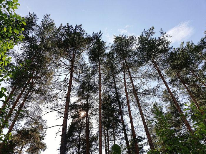 Fir-wood Tree Forest Branch Sky Treetop Spruce Tree Evergreen Tree Forest Fire Pine Wood Single Tree Tree Area