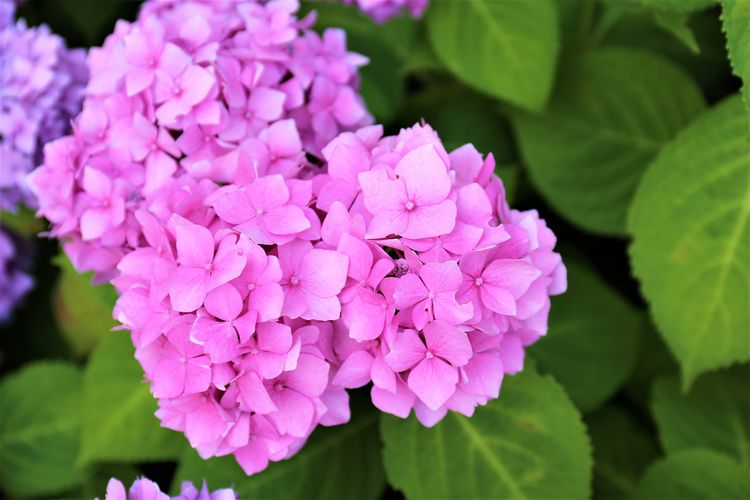 Pink Color Flower Head Day Focus On Foreground Outdoors No People Hydrangea Inflorescence Petal Close-up Growth Freshness Vulnerability  Beauty In Nature Fragility Flower Flowering Plant Lilac Bunch Of Flowers Plant Leaf Plant Part Nature