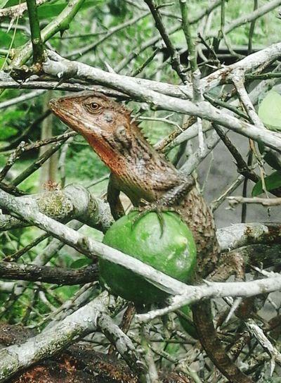 Lizard on lemon