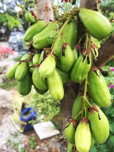 One Family Belimbing Buluh Averrhoa Bilimbi Food And Drink Food Green Color Healthy Eating Fruit Growth Plant