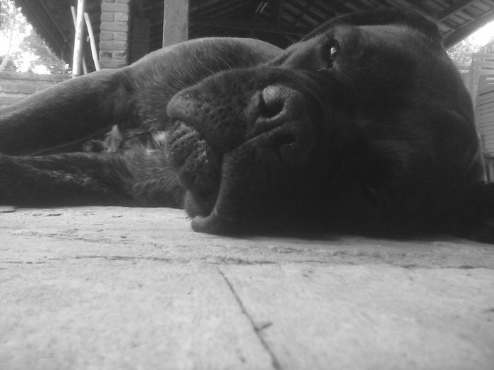Tranquility Dog Sleeping  Black Dog On Focu