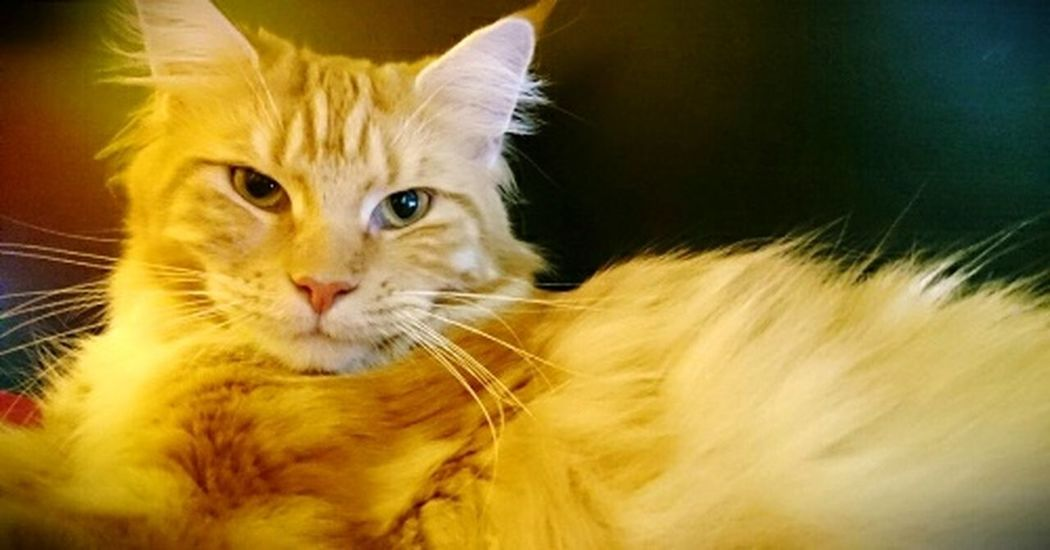 Catlady Maine Coon Cat The Portraitist - 2017 EyeEm Awards Chat Chaton Whisker Love My Cat Home Is Where The Cat Is Cats Of EyeEm Feline Cat Photography Lovly Cat Looking At Camera Mammal Ginger Cat Domestic Room Portrait Close-up Colorful Jeu De Couleur Coleurs Color Game