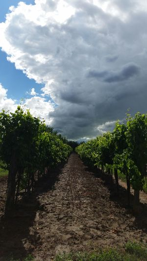 Wineyard & clouds First Eyeem Photo 10