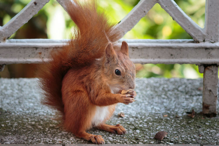 Close-up of red squirrel eating food by railing